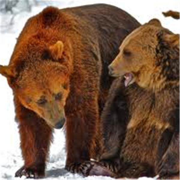 Utahs Mama and Papa Grizzlies